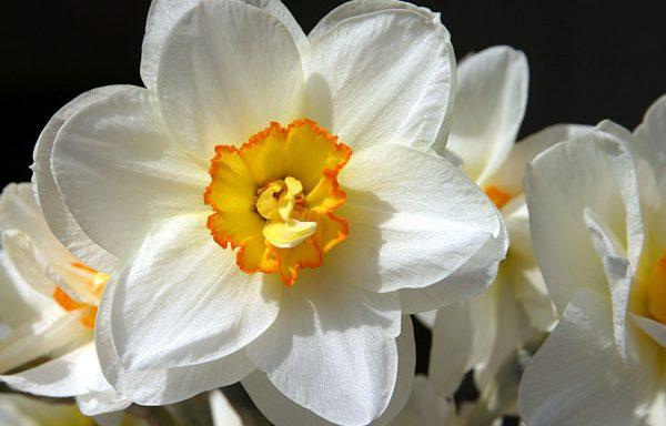 Fleur de Jonquille