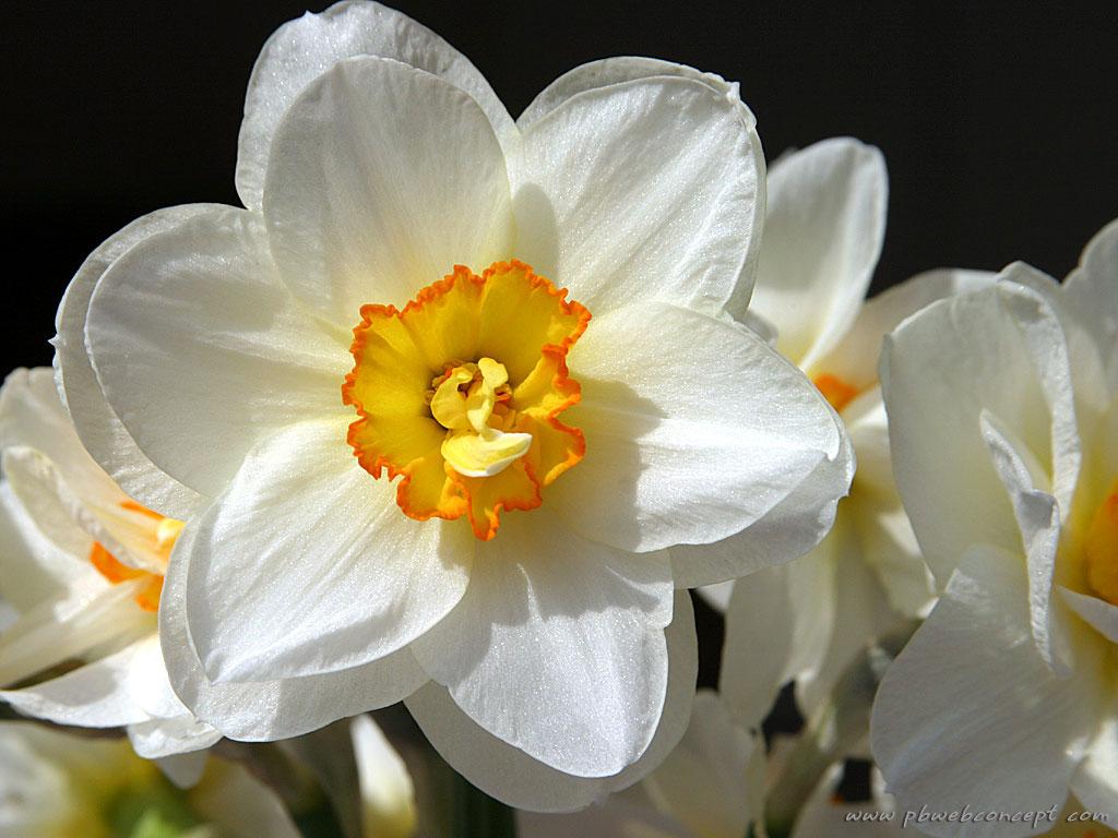 fleur de jonquille - Fleur Jonquille
